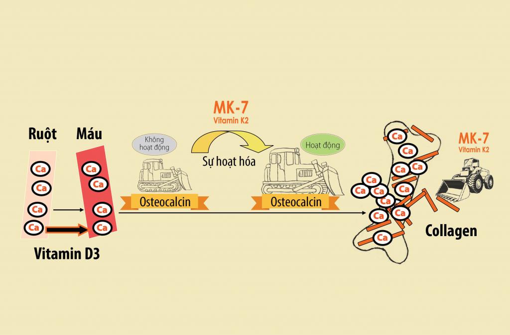MK7 là chất gì? hiện sữa Nhật nào chứa MK7?