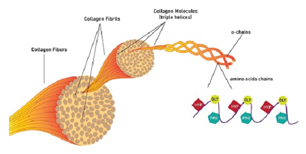 Collagen là gì?